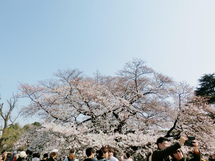 Sakura Hunting