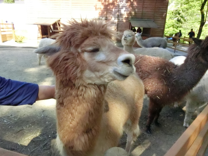 That time I fed some alpacas
